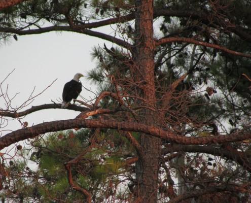 Bald eagle seen while kayaking