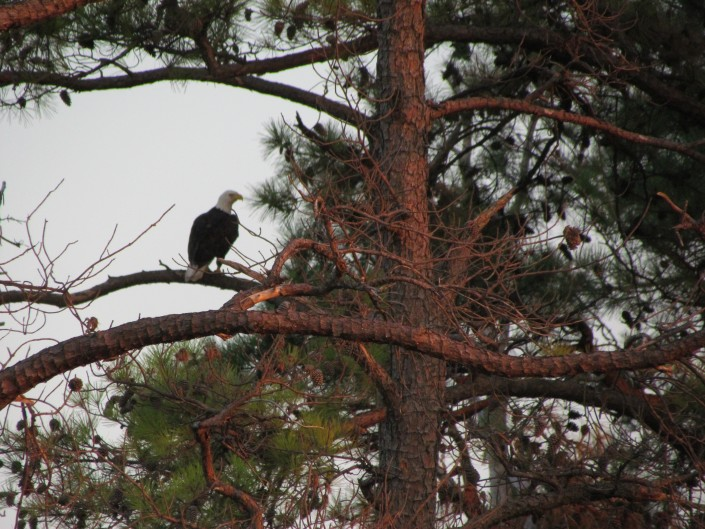 Bald eagle seen while kayaking