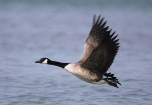Goose Flies over Lake