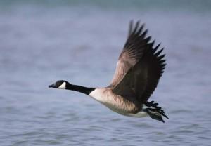 Goose Flies over Lake
