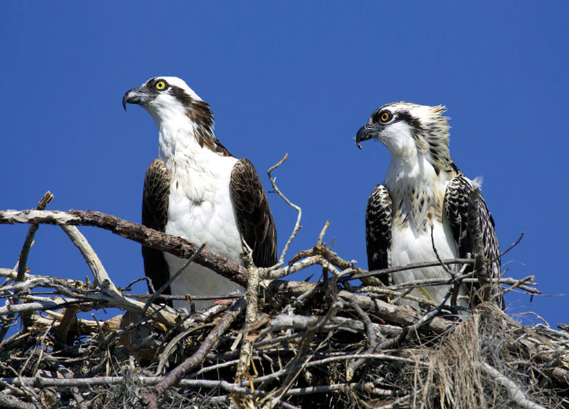 two osprey sitting in a nest